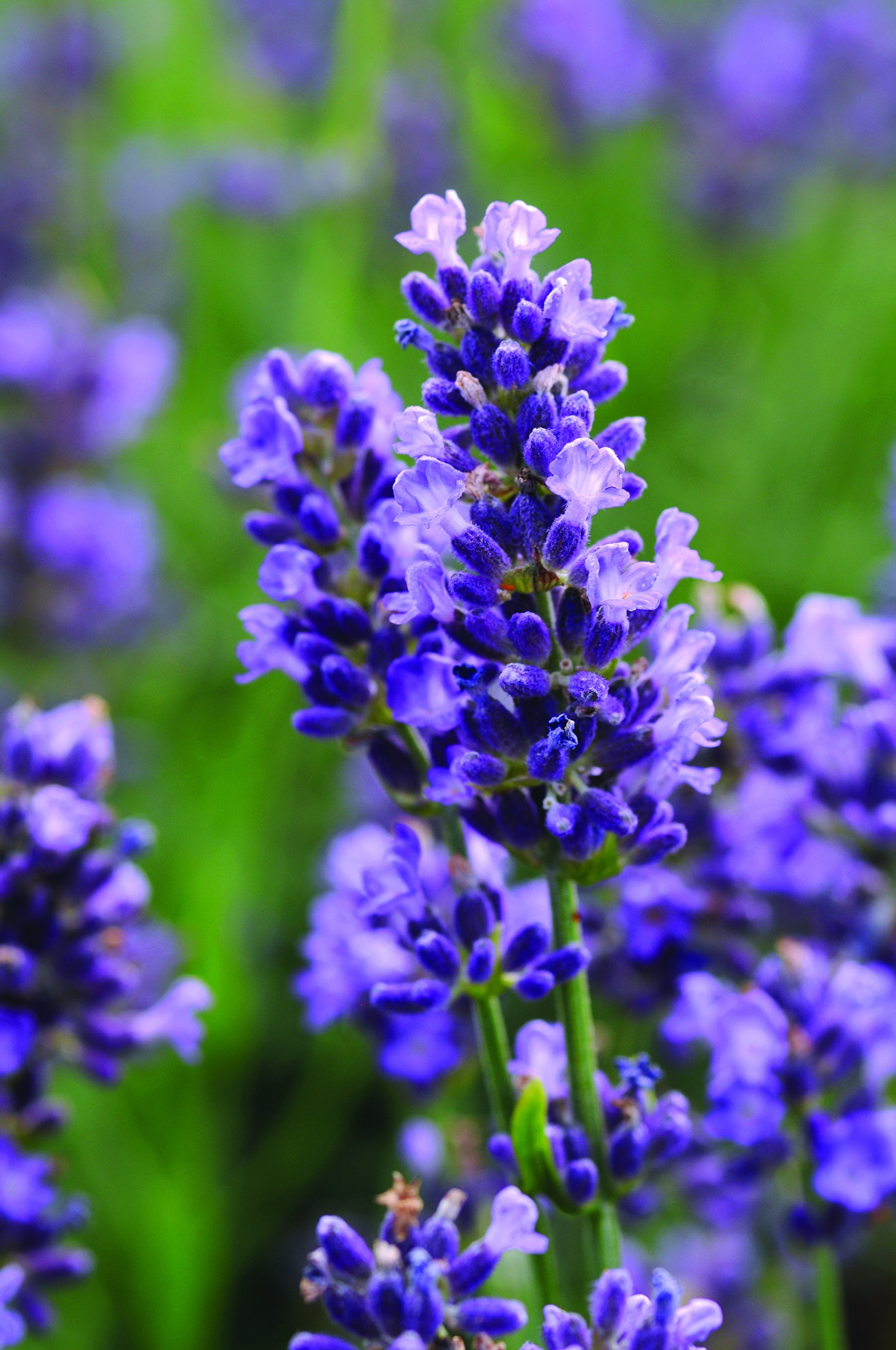 Burpee Lavender 'Superblue' Fragrant Flowers and Foliage, Four 4'' pots by Burpee (Image #1)