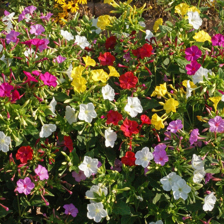 Amazon.com: Outsidepride Four O'Clock Flower Seed Plant Mix - 1/4 ...