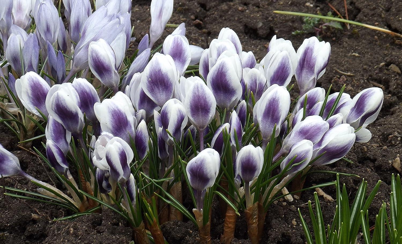 Crocus Krokus Prins Claus (20 Blumenzwiebeln) Das Blumenliesel