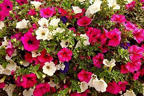 Creative Farmer Indian Gardening Petunia Flower Seeds 30 Seeds Kitchen Home Pack Of 30 Amazon In Garden Outdoors