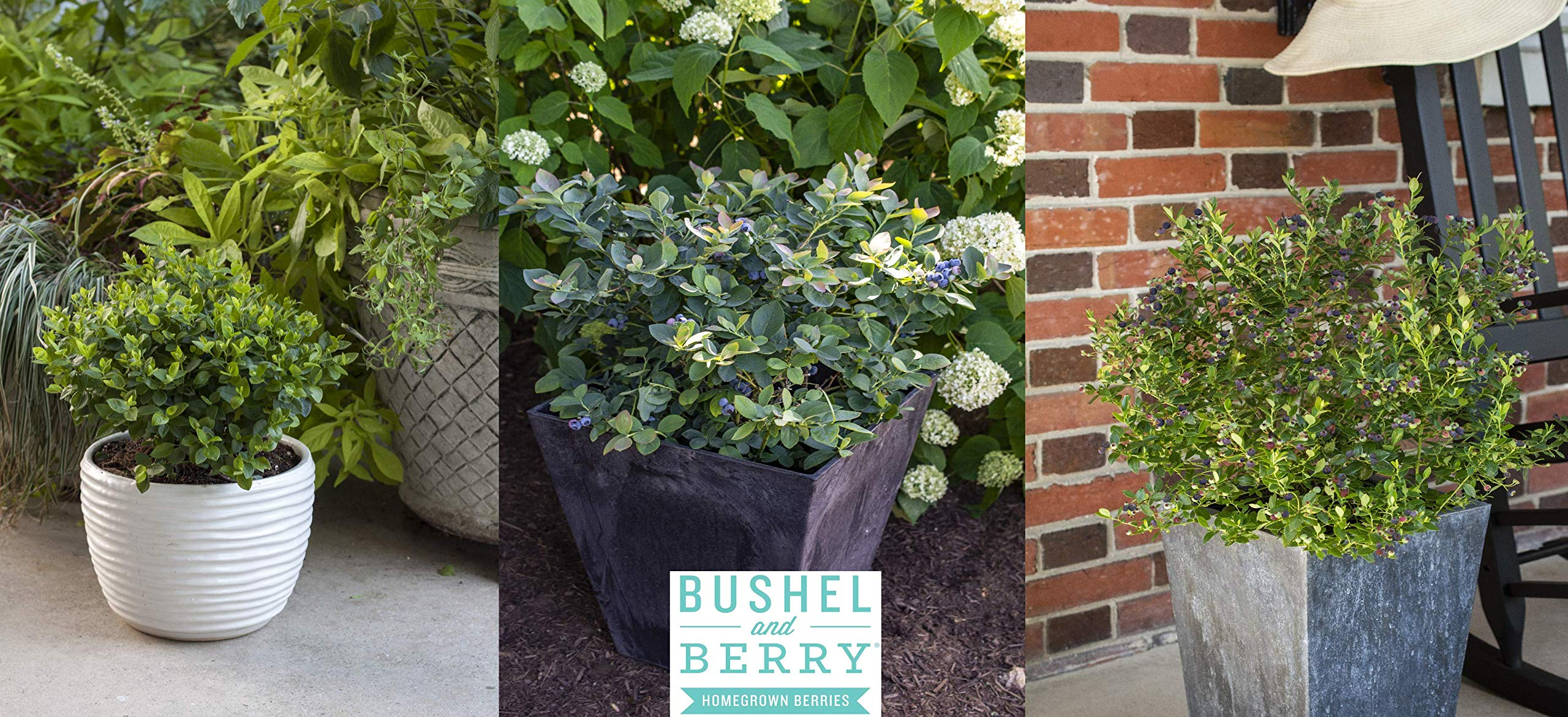 Bushel and Berry - Blueberry Collector's Edition - 3 Piece - Cottage Hill - Blueberry Plants