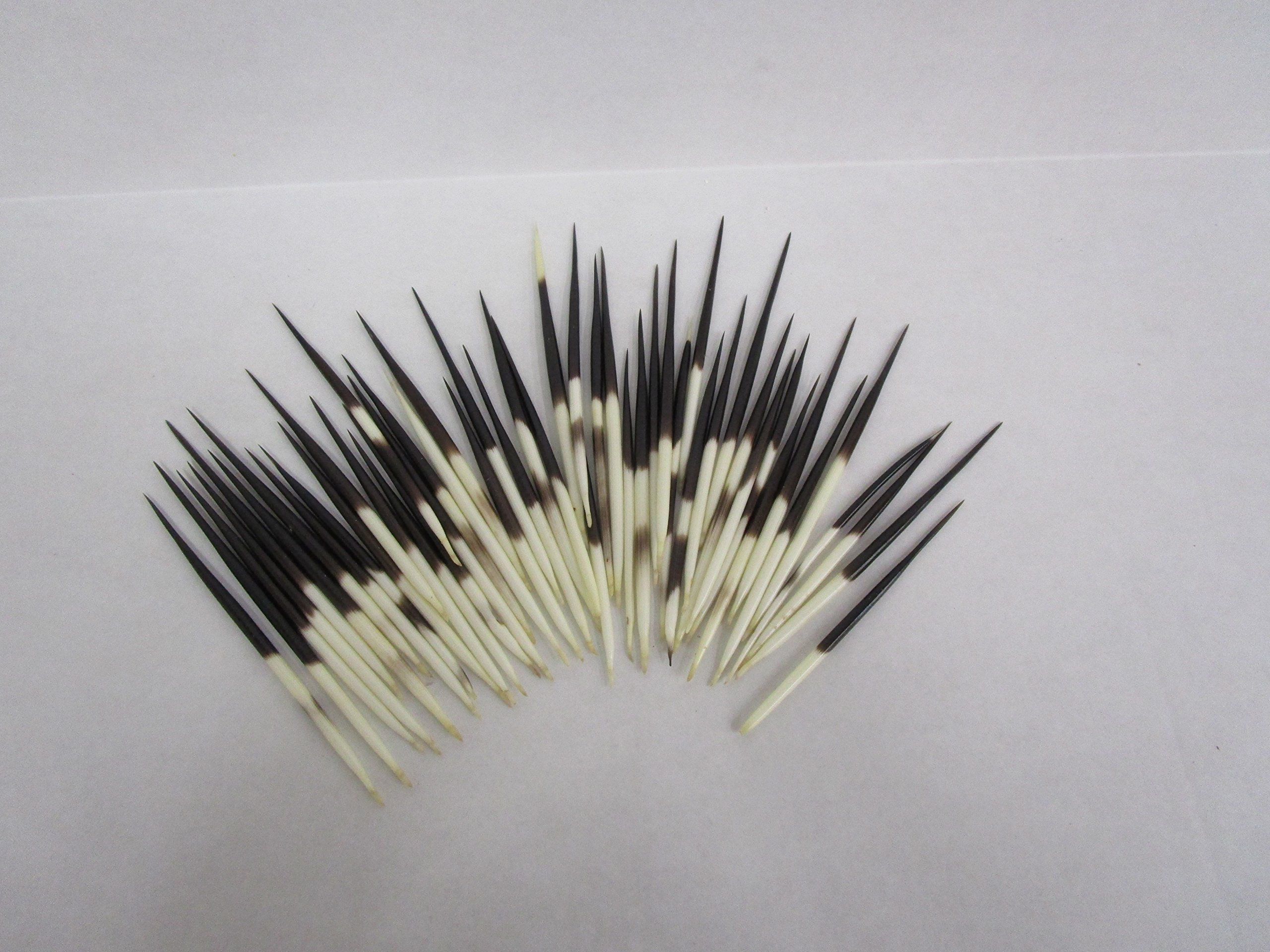 50 pc Fat South African Porcupine quills 3'' to 5'' by Atlantic Coral Enterprise