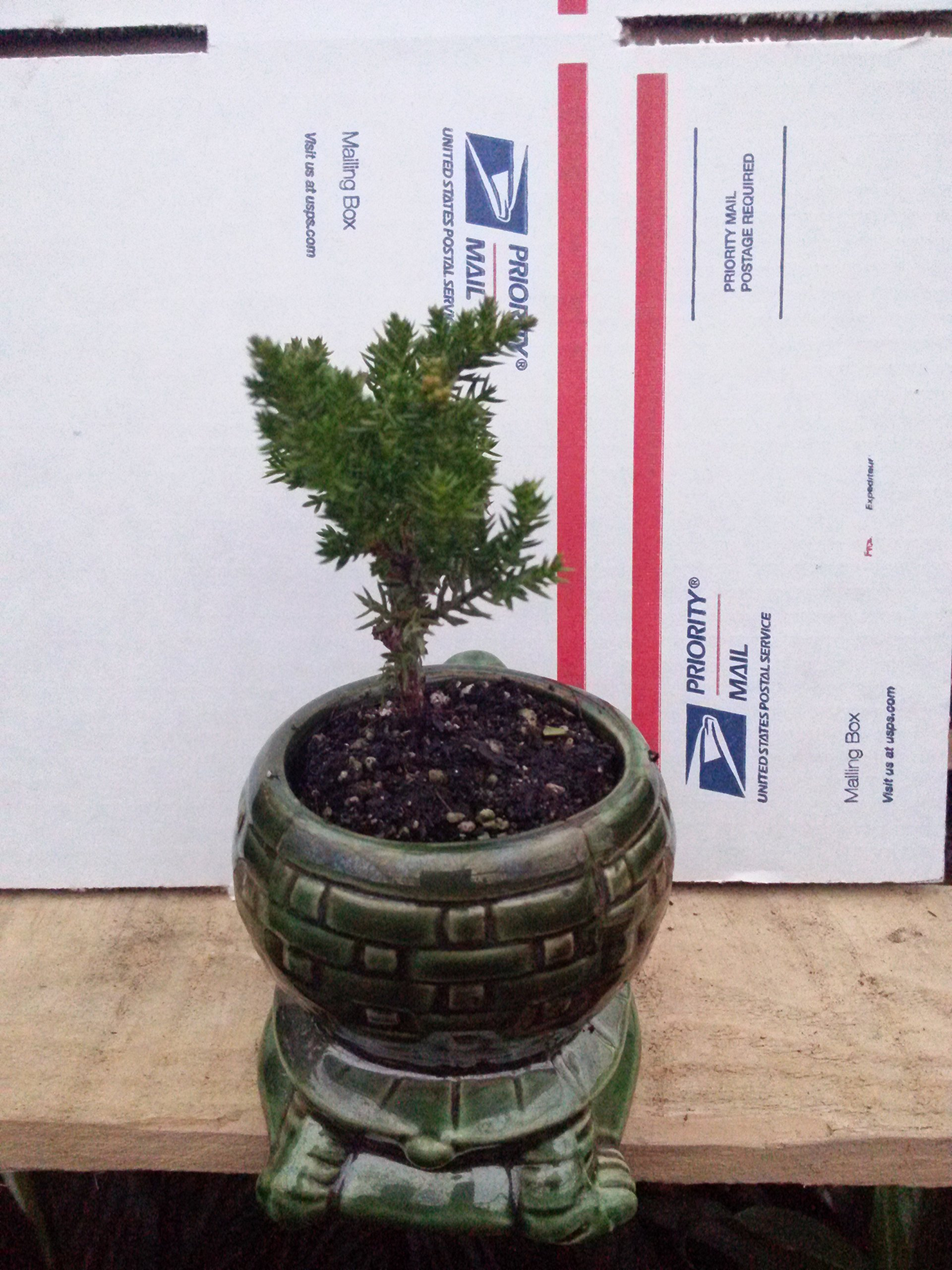 Japanese Juniper Bonsai Starter Tree - 4'' with Ceramic Pot - Collection Juniperus From Jm Bamboo