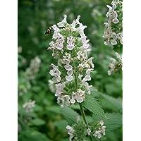 Asklepios-seeds® - 5000 Semillas de Nepeta cataria gatera, hierba de los gatos, menta gatuna, albahaca de gatos, hierba…