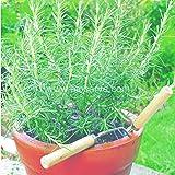 Biocarve Herb Rosemary - Pack of 50 seeds