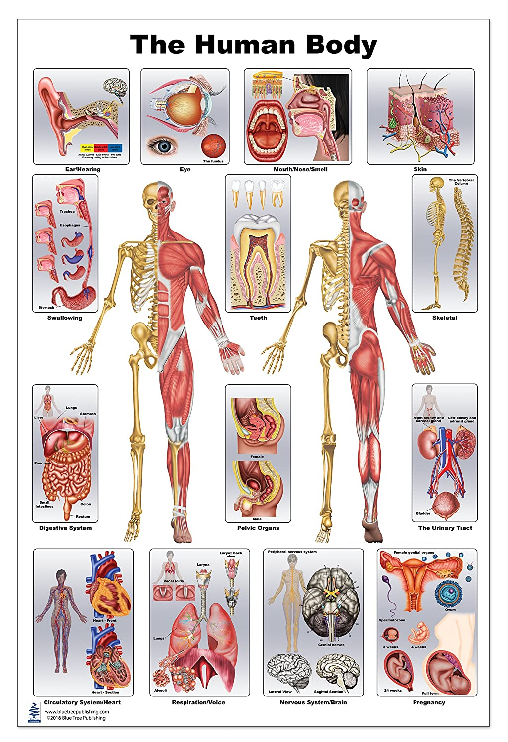 Human Anatomy Poster 12 X 17 Amazon Industrial Scientific