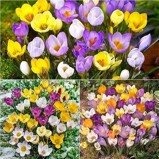 10 X Crocus Bulbs Mixed Species Crocus Spring Flowering Bulbs Bulbs Size 5 7 Free Uk P P Amazon Co Uk Garden Outdoors