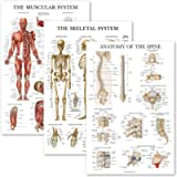3 Pack: Muscular System + Skeletal System + Anatomy of the Spine Poster Set - Set of 3 Anatomical Charts - Laminated…