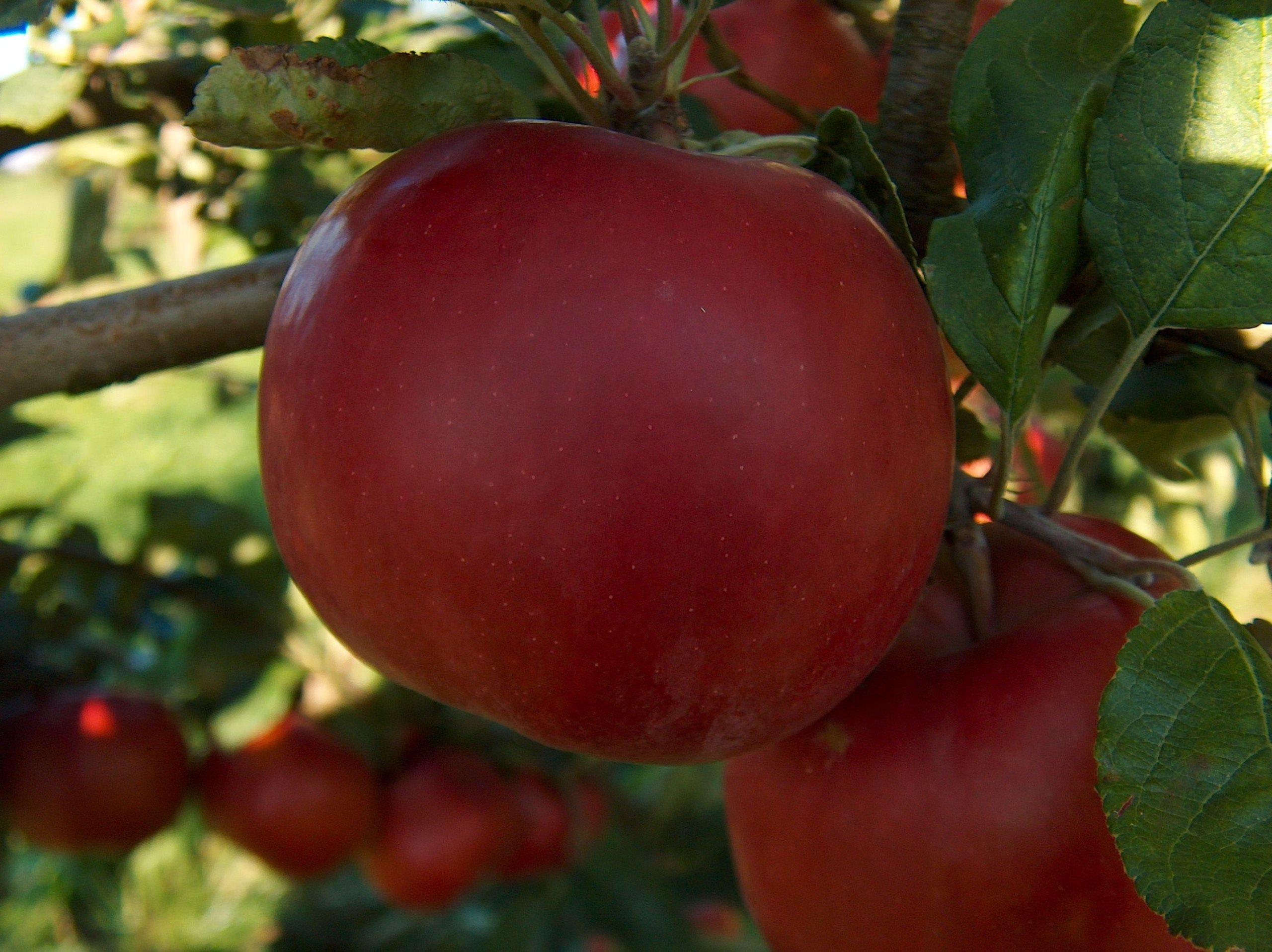 McIntosh Dwarf Apple Tree-healthy Fruit Trees - Red Apple - 2-4 ft. -1 Each