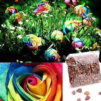 Ncient 500pcs Graines Semences De Roses Multicolore Couleur Arc En