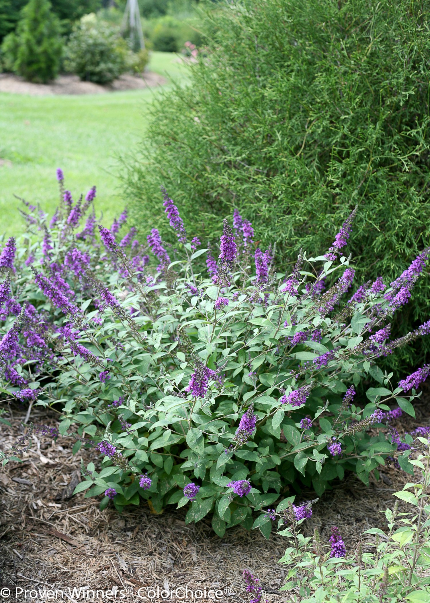 1 Gal. Lo & Behold 'Blue Chip Jr.' Butterfly Bush (Buddleia) Live Shrub, Blue-Purple Flowers by Proven Winners (Image #2)