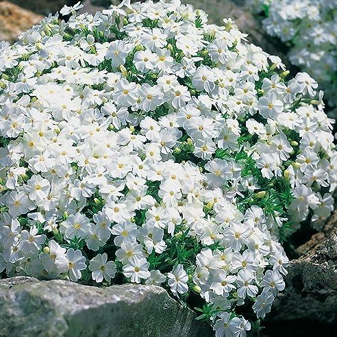 Weiße Staude Polsterphlox -Phlox Subulata- Bodendecker Weiße