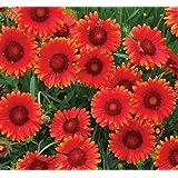 lichtnelke - Kokardenblume (Gaillardia aristata) Mesa™ Red