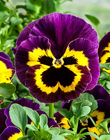 Pansy Flower Seeds Yellow With Purple Seeds Pack By Seedscare India Amazon In Home Kitchen