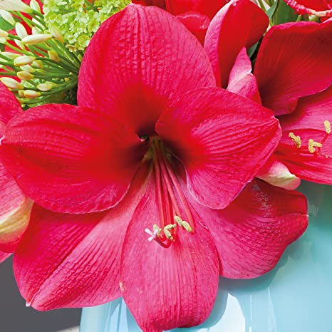 Amazon Amaryllis Bulb Pink Amaryllis Lagoon 2628cm Bulb
