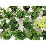 """Super Micro Ferns (2 Plants) (1.5"""" Pots) Terrarium Plants Fairy Garden Plants"""