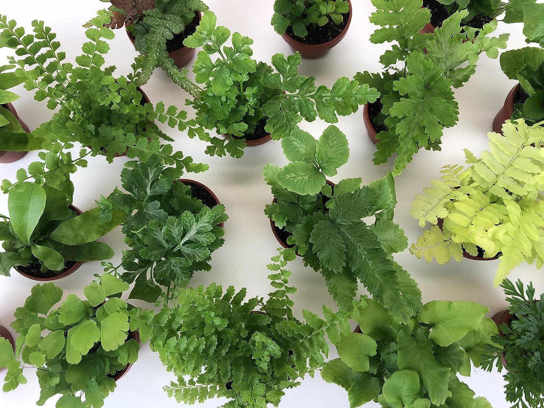 Amazon Com Super Micro Ferns 2 Plants 1 5 Pots Terrarium