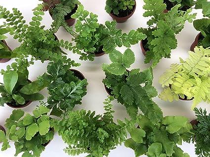 Super Micro Ferns (2 Plants) (1.5u0026quot; Pots) Terrarium Plants Fairy Garden