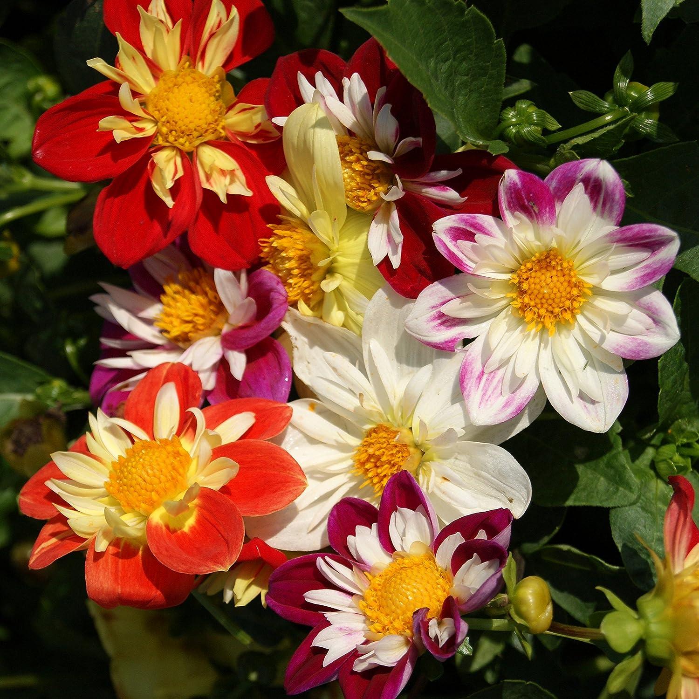 Amazon Outsidepride Dahlia Dandy Mix 500 Seeds Garden Outdoor