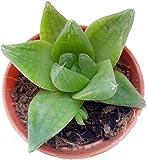 DESKPLANTS Succulent Live Plant Haworthia Cymbiformis, Cathedral Window (Black)