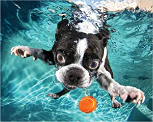 Empire Art Direct Boston Terrier Dog Wall Art on Frameless Free Floating Tempered Glass Panel Ready to Hang,Living Room,Bedroom & Office, 20 in. x 0.2 in. x 16 in, Blue,White,Black