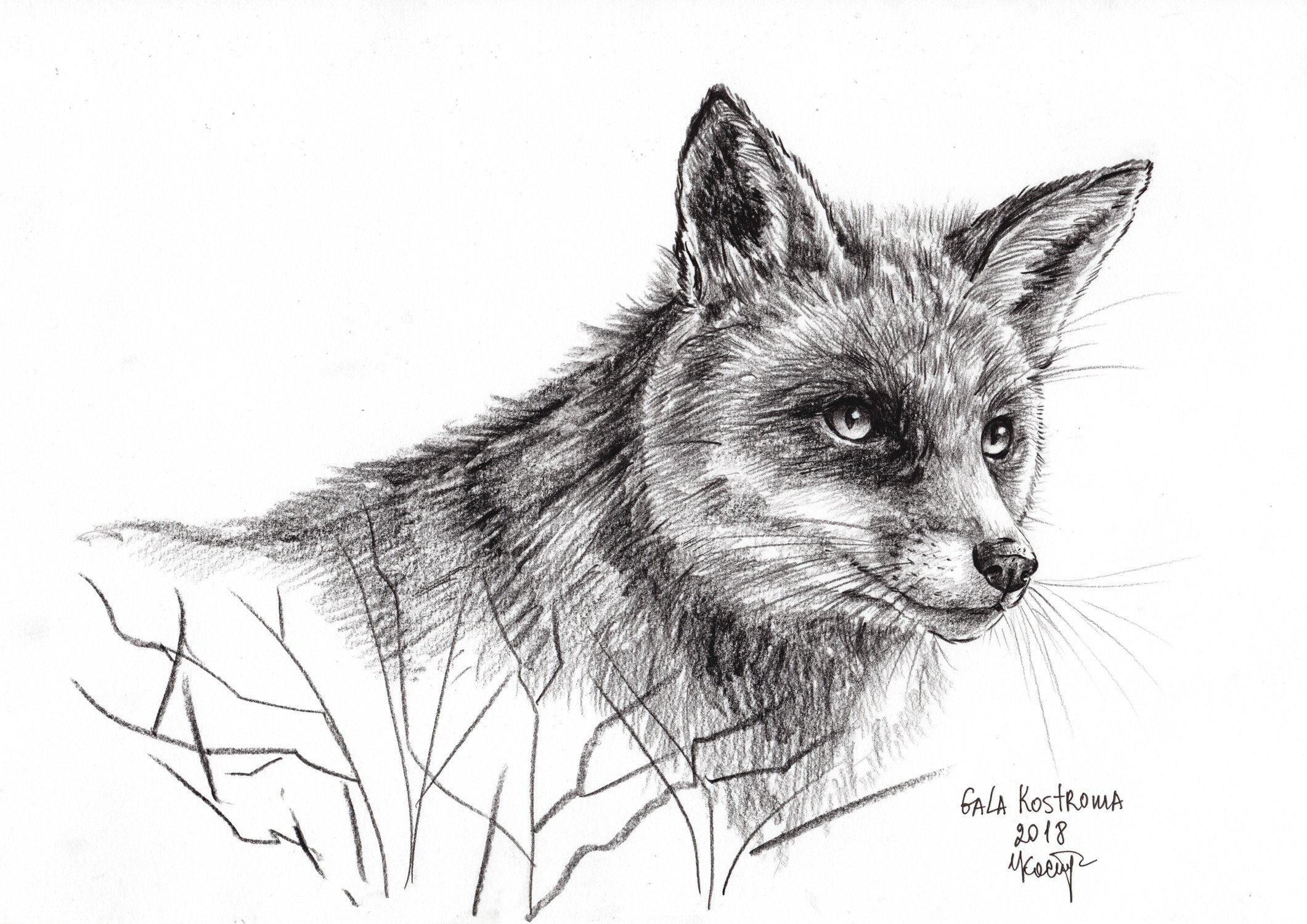 Sly Fox original Gala Kostroma watercolor animal drawing