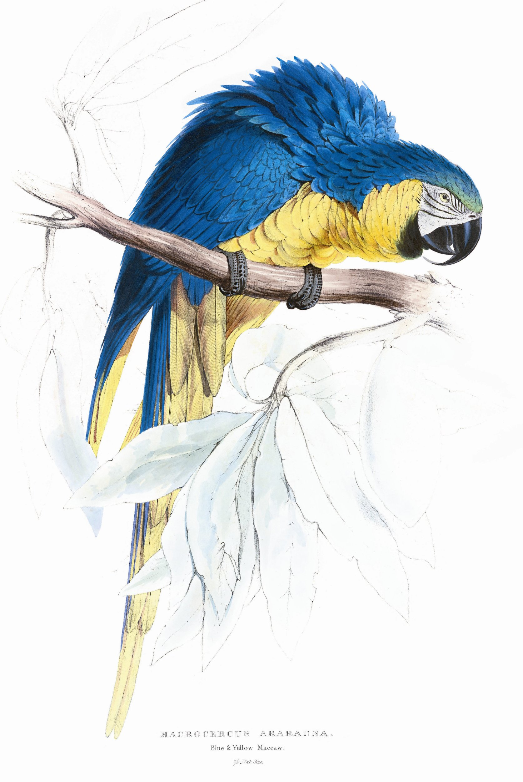 Edward Lear, Parrots: The Complete Plates: Amazon.co.uk: Francesco Solinas,  Solphia Willmann, Edward Lear: 9783822852743: Books