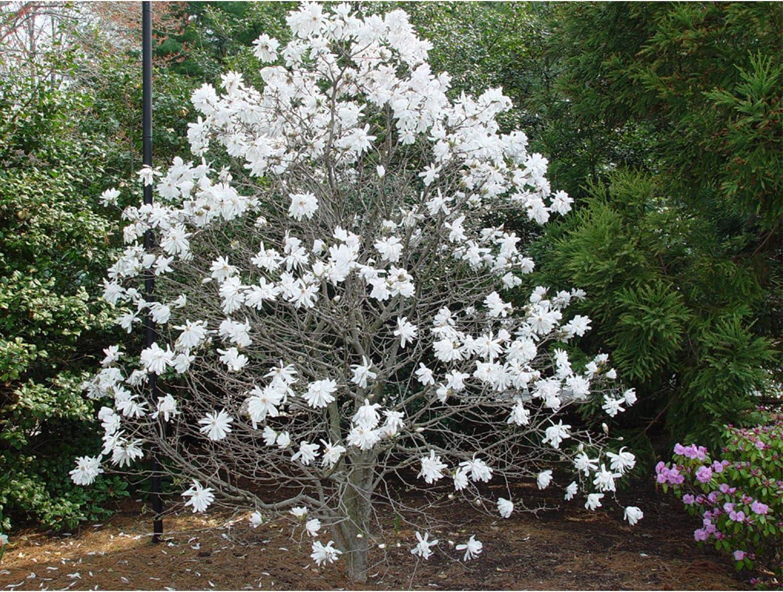 Amazon Com Royal Star Mangolia Flowering Shrub 3 5 Healthy