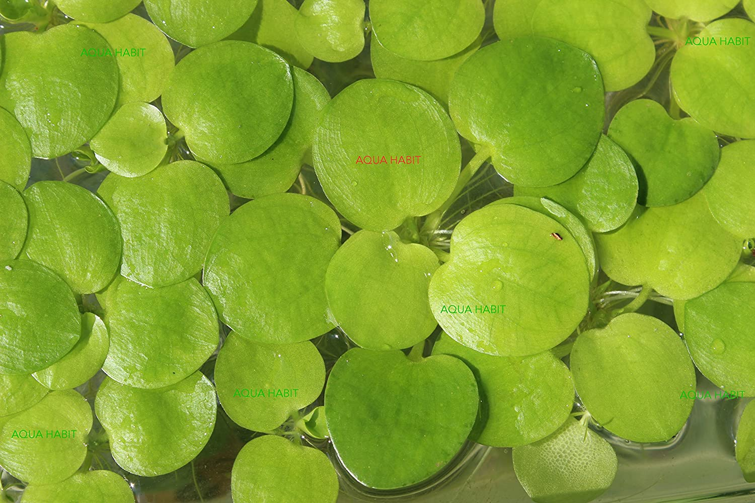 Amazon Frogbit (Limnobium Laevigatum) - 3/6/12 Live Aquatic Plants by Aqua Habit (6) AQUAHABIT