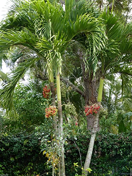 adonidia palm tree lot20 plants veitchia merrillii christmas palm sale - Christmas Palm Trees For Sale