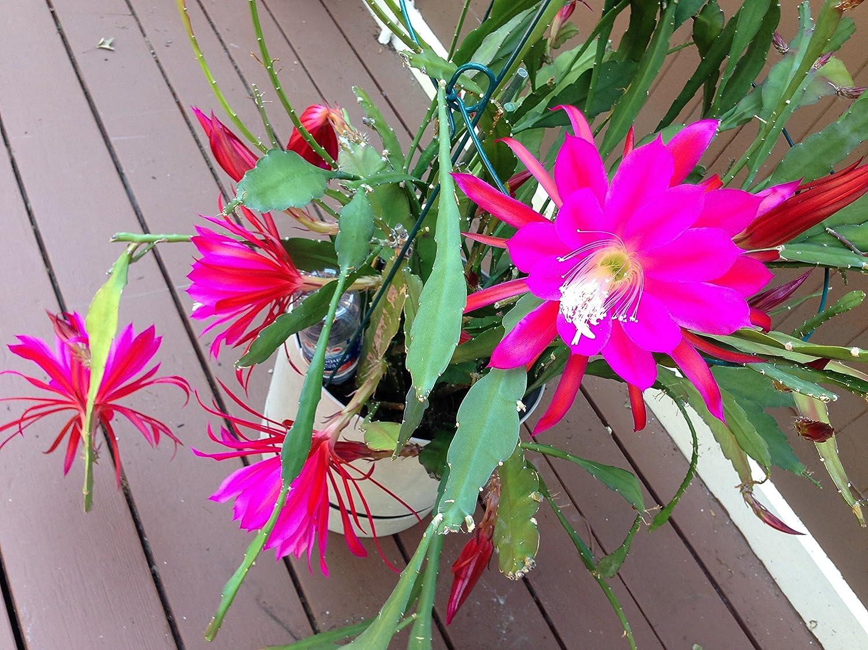 Best Epiphyllum Orchid Cactus Lemon Yellow