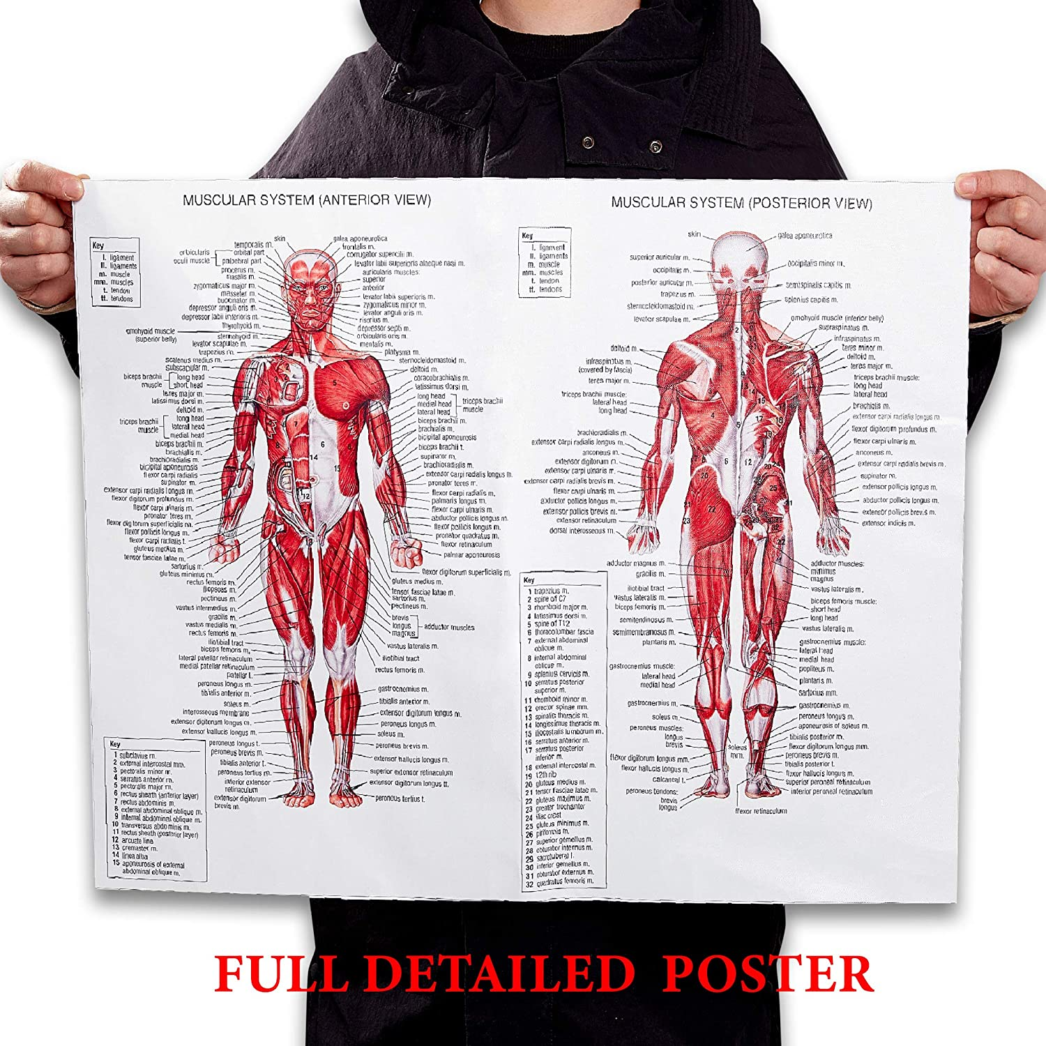 Tear Resistant Muscle Anatomy Chart BITOMIC Muscular System Anatomical Poster High quality canvas water proof Science Education Poster Poster Size 18 Width x 27 Height