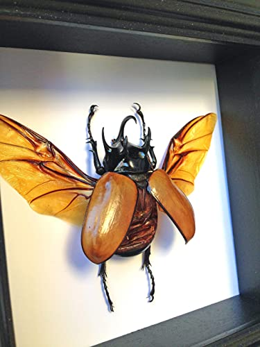 Real Beetle Insect Display Taxidermy Art