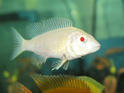 Amazon Com Live Freshwater Aquarium Fish 3 4 Albino Peacock