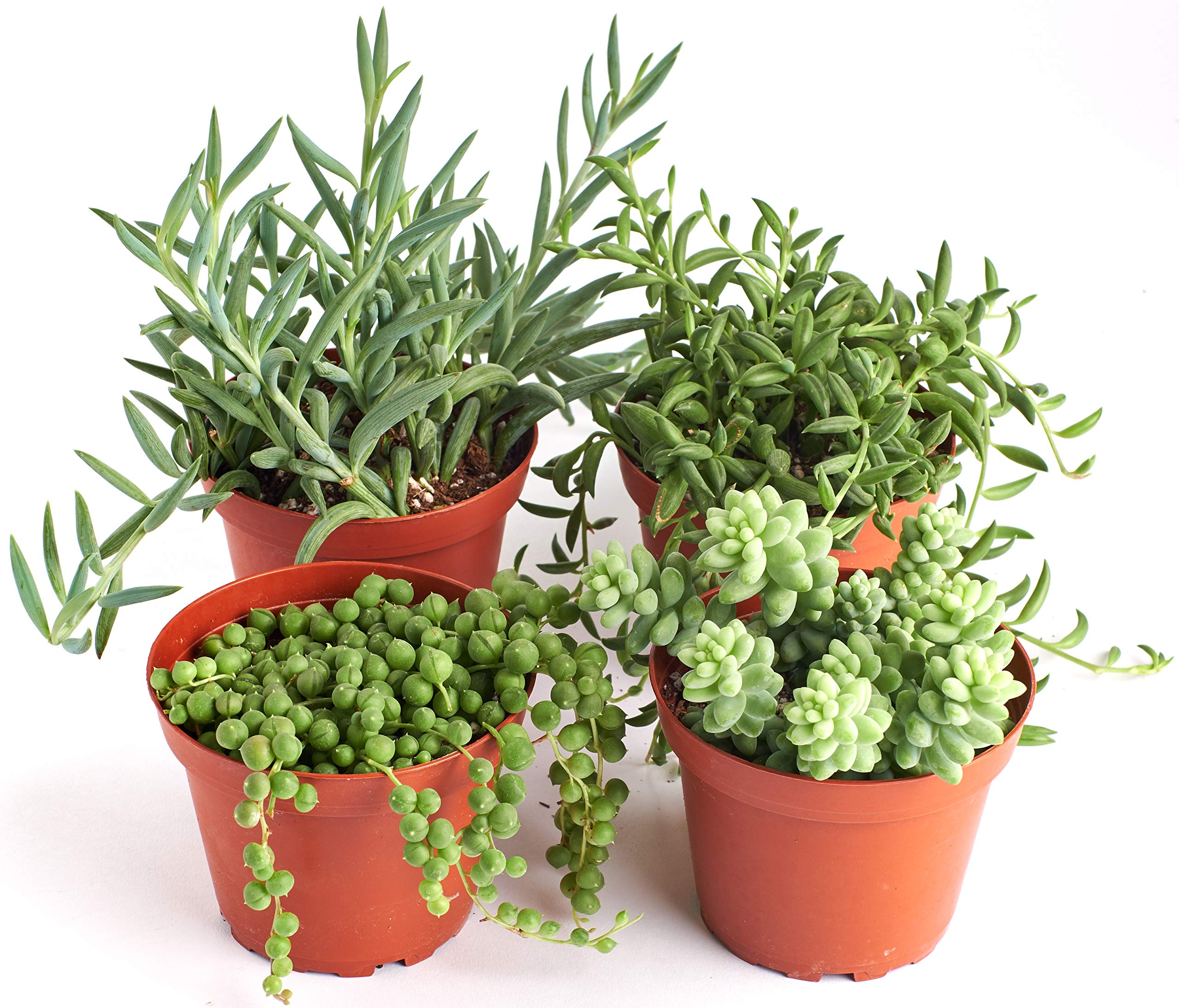 Shop Succulents | Hanging Live Succulent Plants, Hand Selected Pearls, Bananas, String of Fishhooks & Burrito Sedum Variety in 4'' Grow Pots | Collection of 4 by Shop Succulents