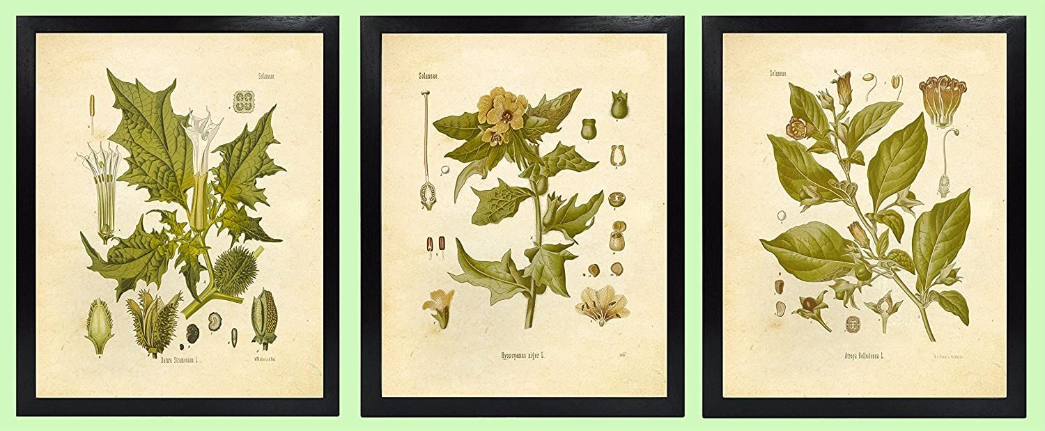 Magical Herbalism Witchcraft Herbs Vintage Botanical Art Prints Set of 3 Belladonna Deadly Nightshade Henbane Ink Inc Jimson Weed Datura 8x10 Matte Unframed Aggregate Commodities