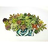 Fat Plants San Diego 25 Miniature Fairy Garden Succulent Cuttings