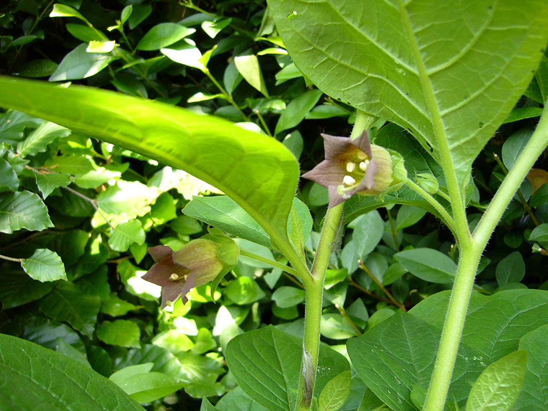 Asklepios-seeds® - 100 Semillas de Atropa belladonna belladona