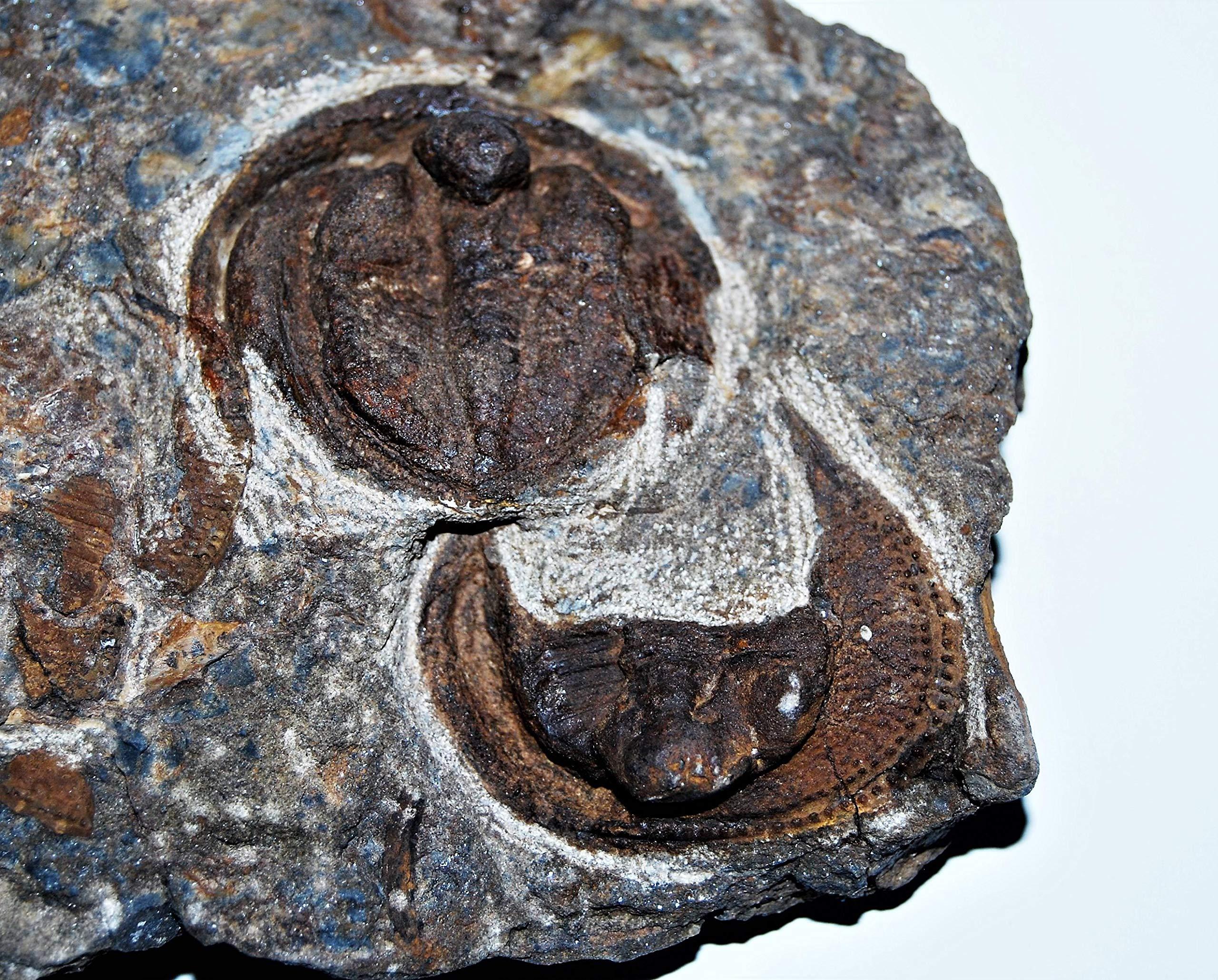 Nankinolithus Trilobite Fossil 475 Million Years Old #14257 38o