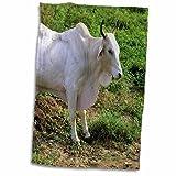 3D Rose Brahma Bull Cow-Cattle-Na02 Dfr0037-David