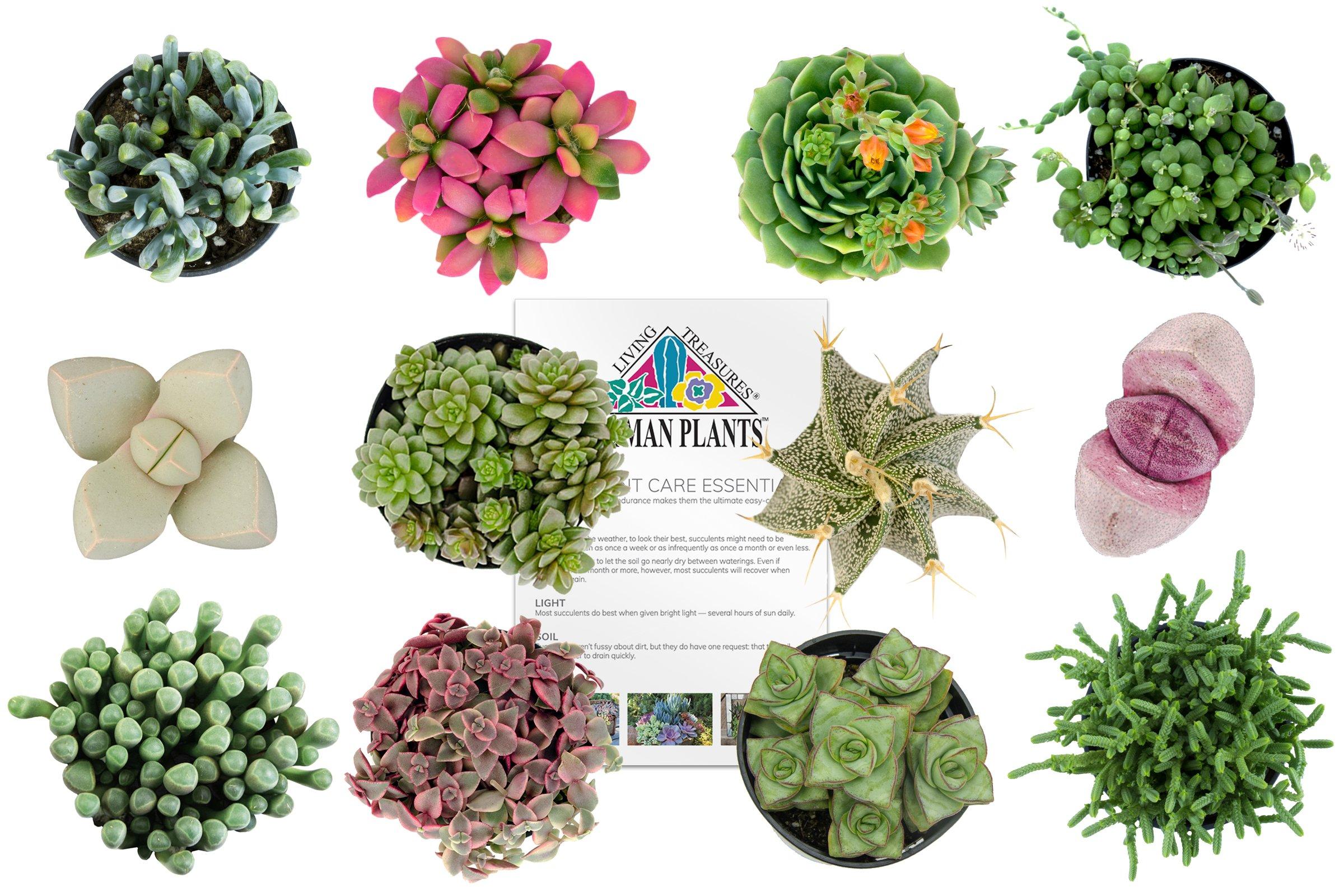 Altman Plants Assorted Live Succulents Fairy Garden