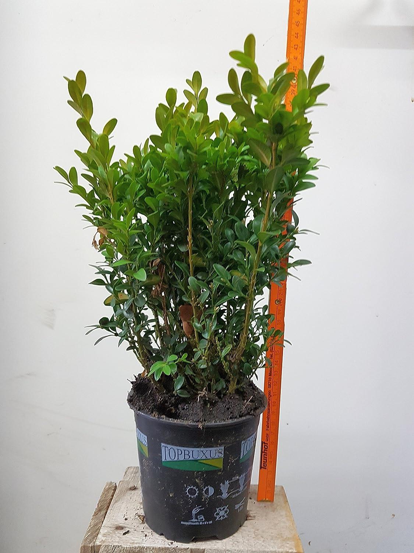 50 st ck buchsbaum buxus sempervirens heckenpflanzen for Sempreverdi in vaso