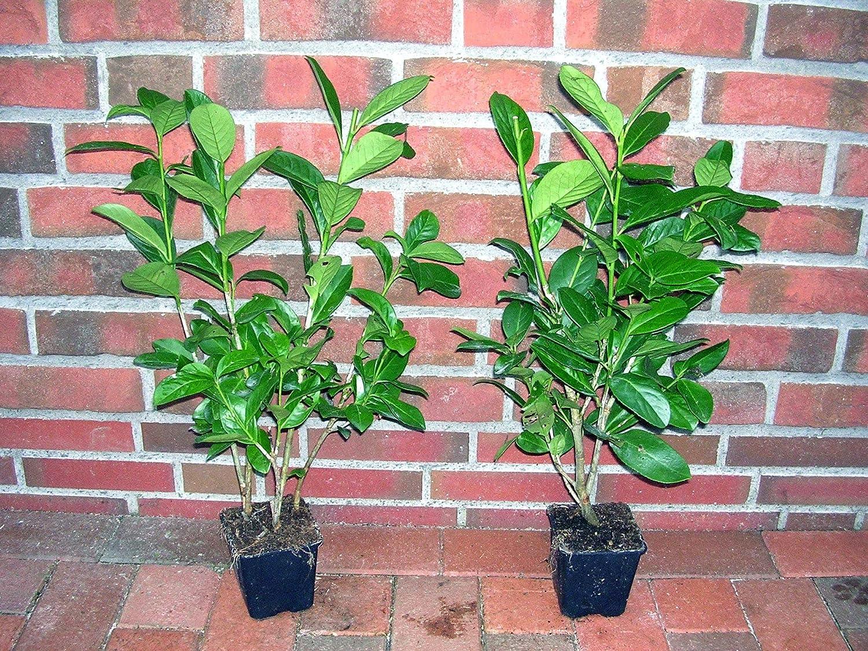 30 Kirschlorbeer Pflanzen Höhe 20 30 cm ab Topf Prunus