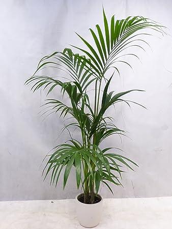 Zimmerpflanzen Palme howea forsteriana kentia palme 180 cm zimmerpflanze amazon