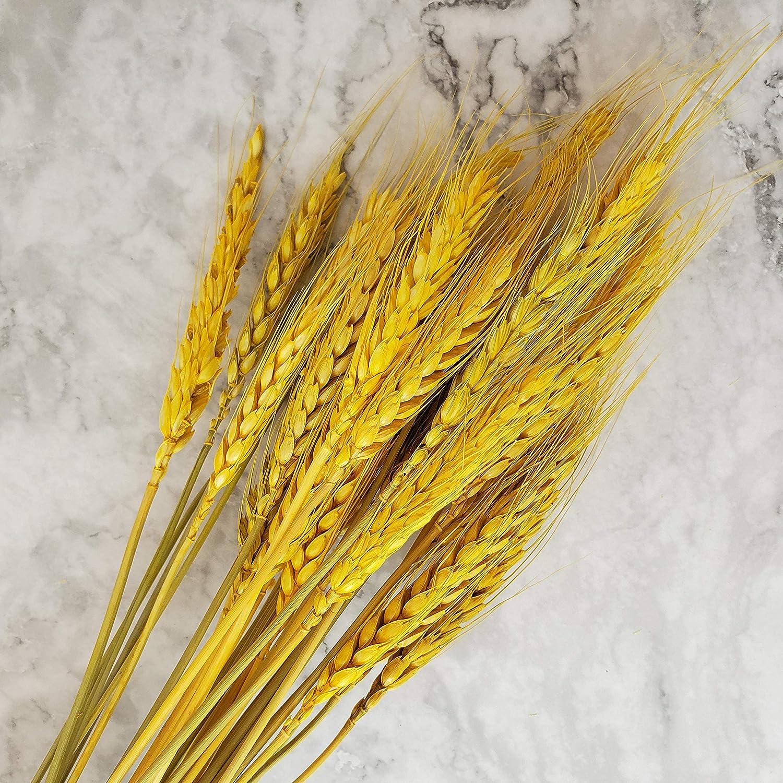 Gold Beau Jour Natural Dried Wheat Sheaves 100 Stems for Autumn Arrangements DIY Home Decor