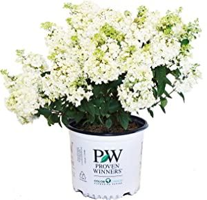 Proven Winners - Hydrangea pan. Bobo (Panicle Hydrangea) Shrub, dwarf form with white flowers, #3 - Size Container
