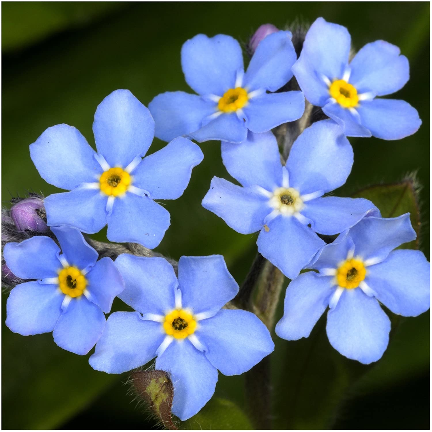 Etymological Meaning of the Forget Me Not Flower
