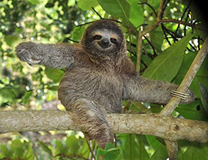 amazon com three toed sloth poster photo cute wild animals posters