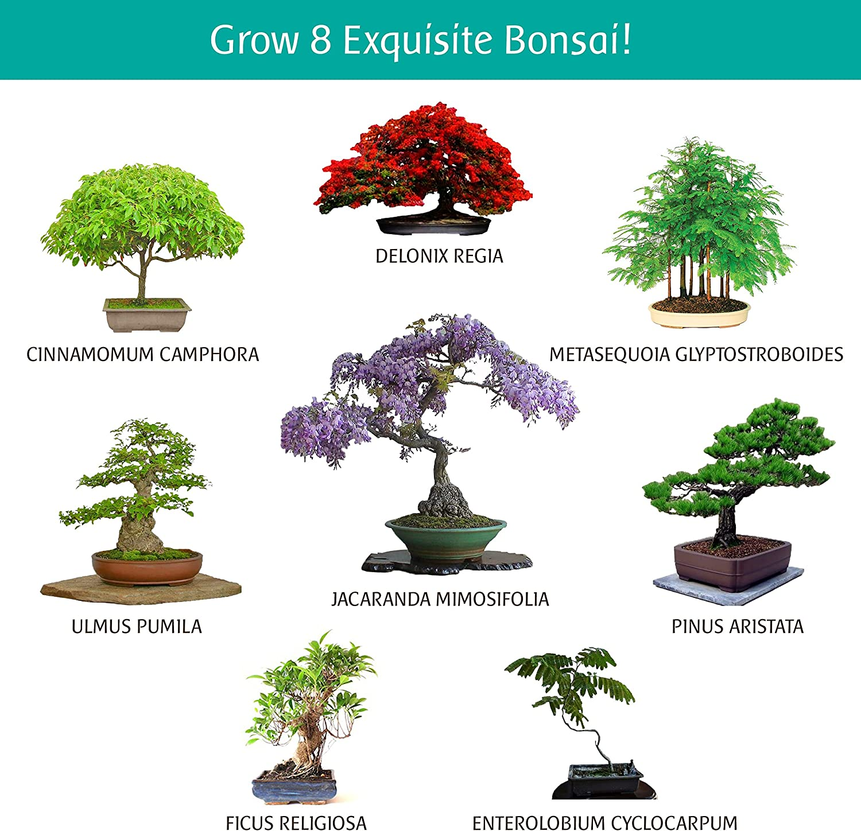 Amazon Com Bonsai Tree Seed Kit Grow Bonzai At Home Set Of 8 Stay Fresh Vials With Rare Bonsi Seeds Delonix Regia Flame Tree Jacaranda Metasequoia Dawn Redwood And Many