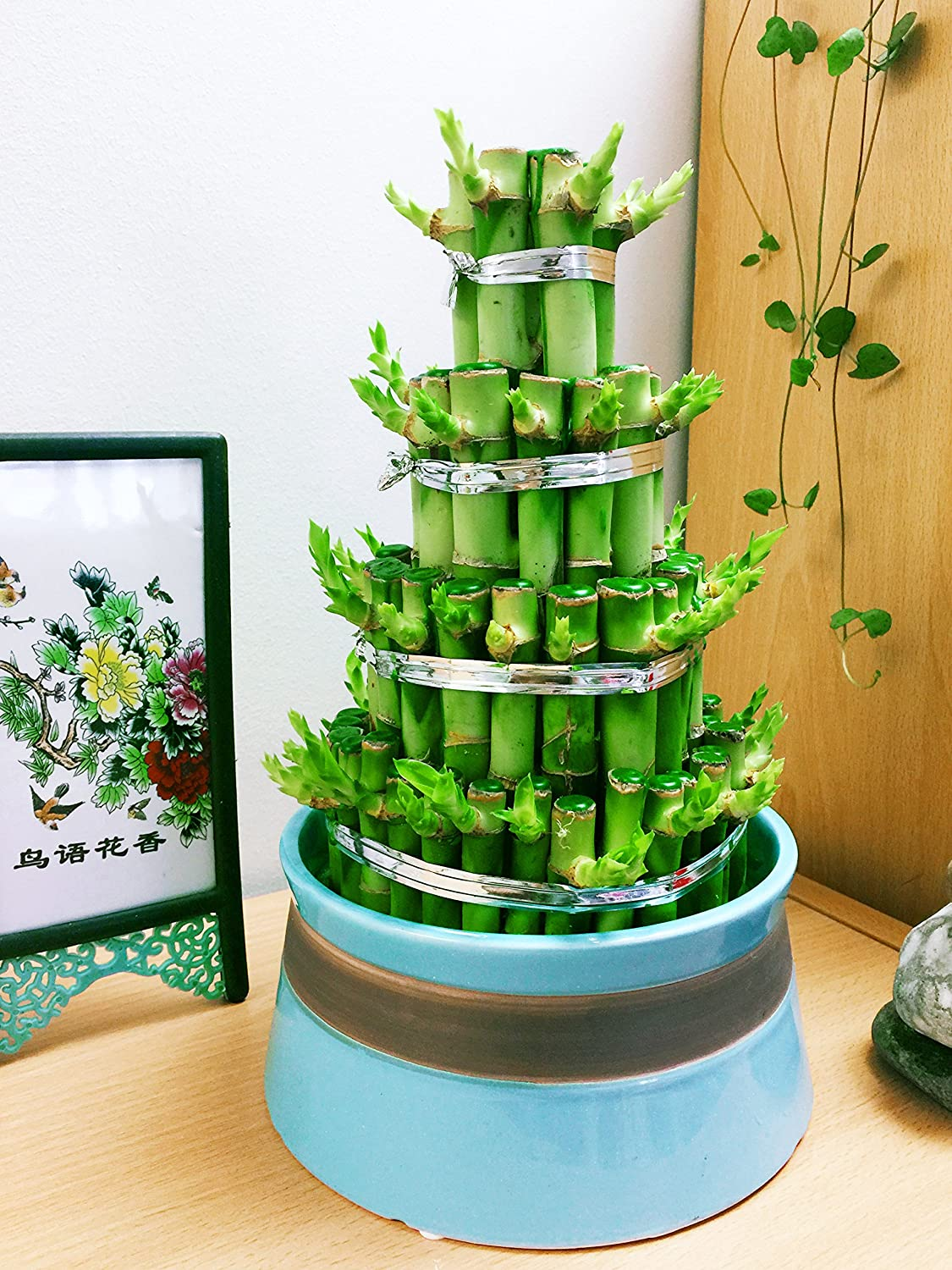 Easy Plants 1 LARGE TOWER LUCKY BAMBOO IN RANDOM COLOUR CERAMIC POT